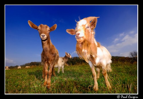 Mr Billy Goat and His Wife