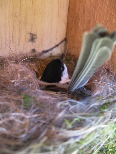 Chickadee on the Nest
