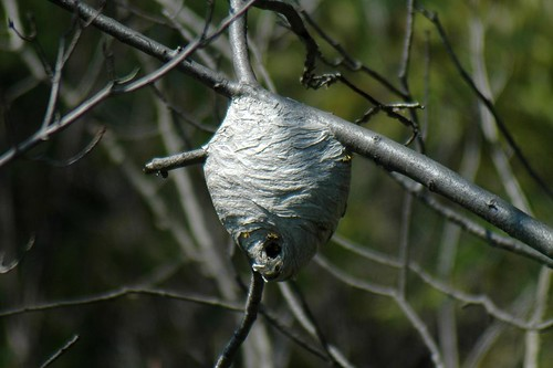 White Faced Hornet Nest [maybe]
