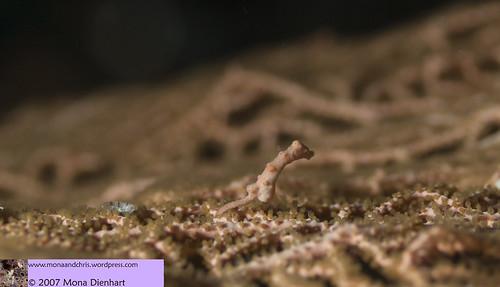 pygmy DENISE