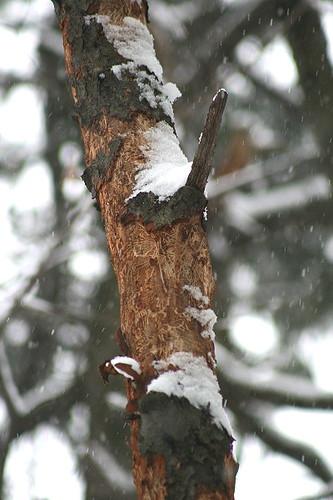 Woodpecker4