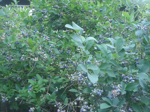 blueberry 1 藍莓