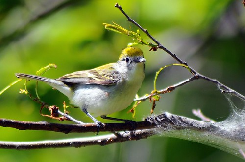 Chestnut-sided Warbler