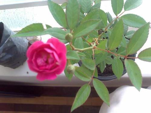 """Dia da """"Rosa"""""""