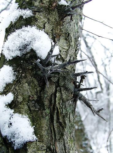 hawthorn trunk
