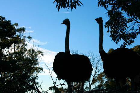 Ostriches at Taronga Zoo