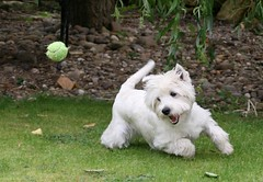 Suzie chasing tennis ball