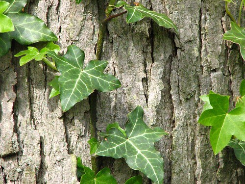 Good Ivy