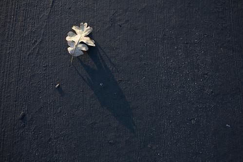 Oak leaf on Sand Hill Road