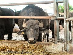 Bufala mozzarella farm by stephen sommerhalter
