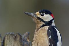 Portrait - Great Spotted Woodpecker