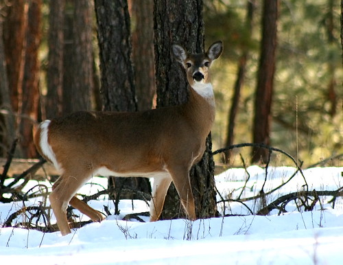 White Tailed Deer 2