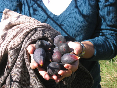 Picking figs in Aragón