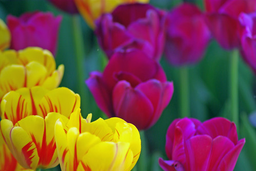 yellow tulips and red tulips from Istanbul Tulip Festival by Pentax K10D