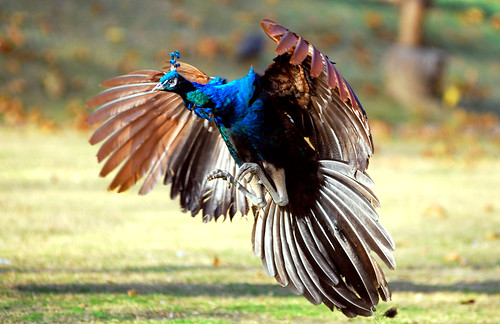 Peacock landing