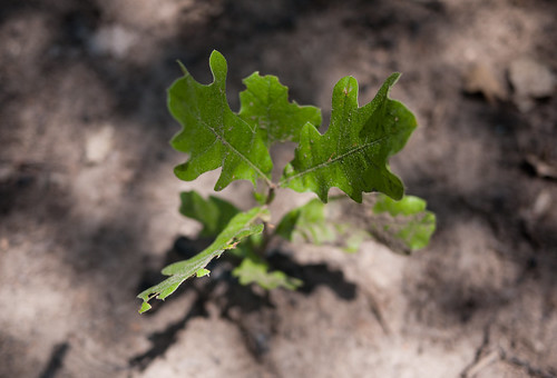 Johnson Branch baby oak