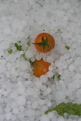 Tomatoes in hail