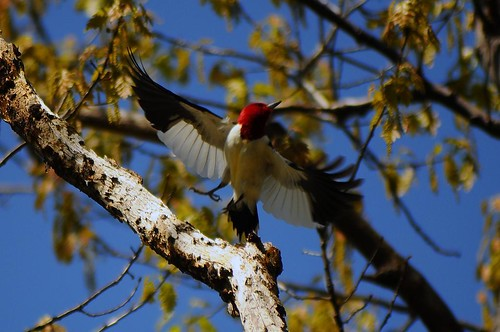 Red-headed Woodpecker  flying