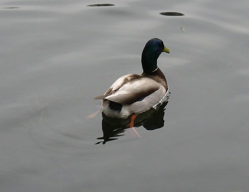 Hello Mr. Duckie