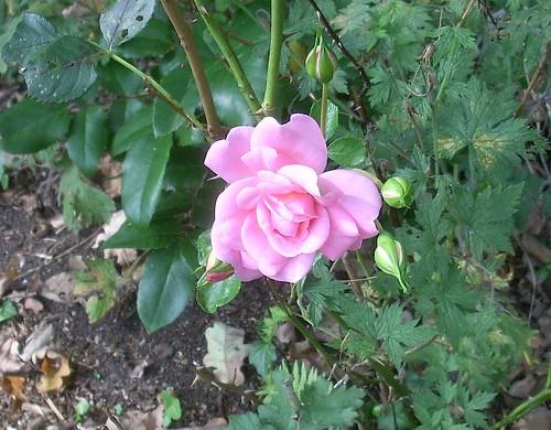 Rose im September