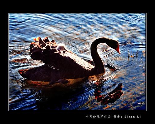 swans_simon