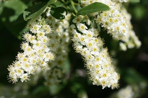 Chokecherry blossoms