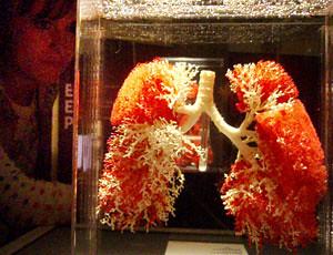 lungs by ashrampep