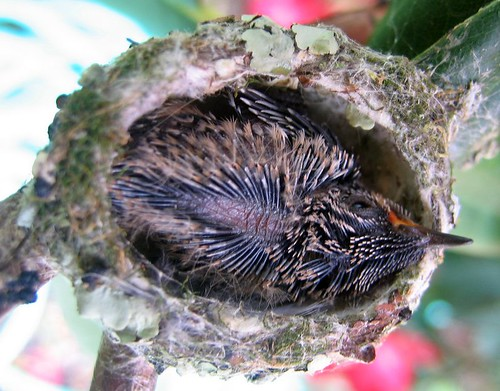 Baby hummingbird opens its eyes today