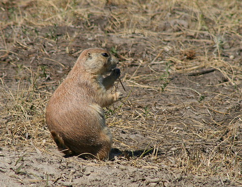 Prairie Dog, Badlands National Park, SD