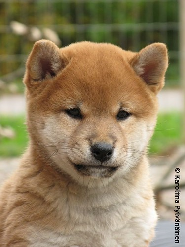"Shiba Inu 柴犬 Daitan 大胆 (""Hiroshi"" 浩)"
