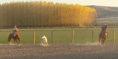calves1