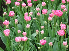 Tulips in Keukenhof, The Netherlands