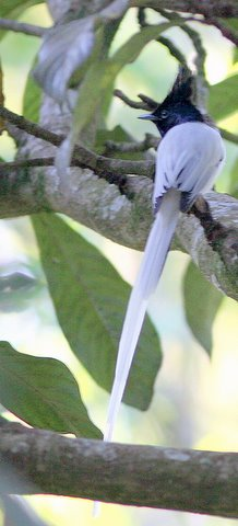 Male Asian Paradise Flycatcher nandi hills 251107