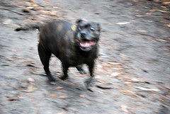 staffy in motion