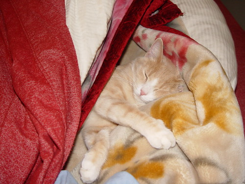 Nutmeg sleeping under the covers.