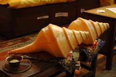 Giant shells (Turbinella pyrum, chank shell, s...