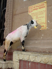 varanasi – goat eating poster by kay.tee