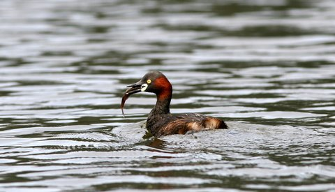 grebe with fish kodai lake 240508