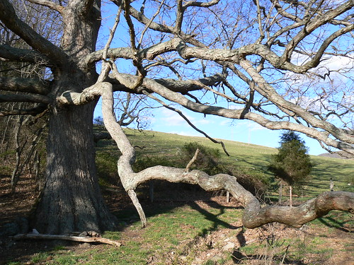 Keffer Oak - Long Winding Branches