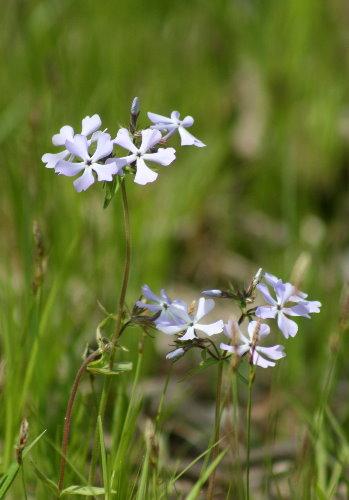 Wild Blue Phlox, Phlox divaricata