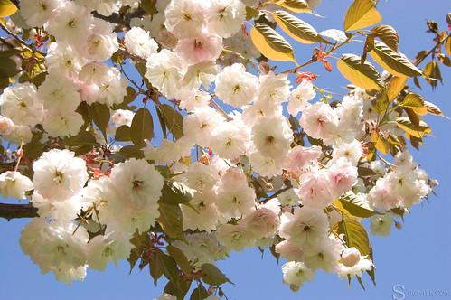 high_park_sakura_tree_34
