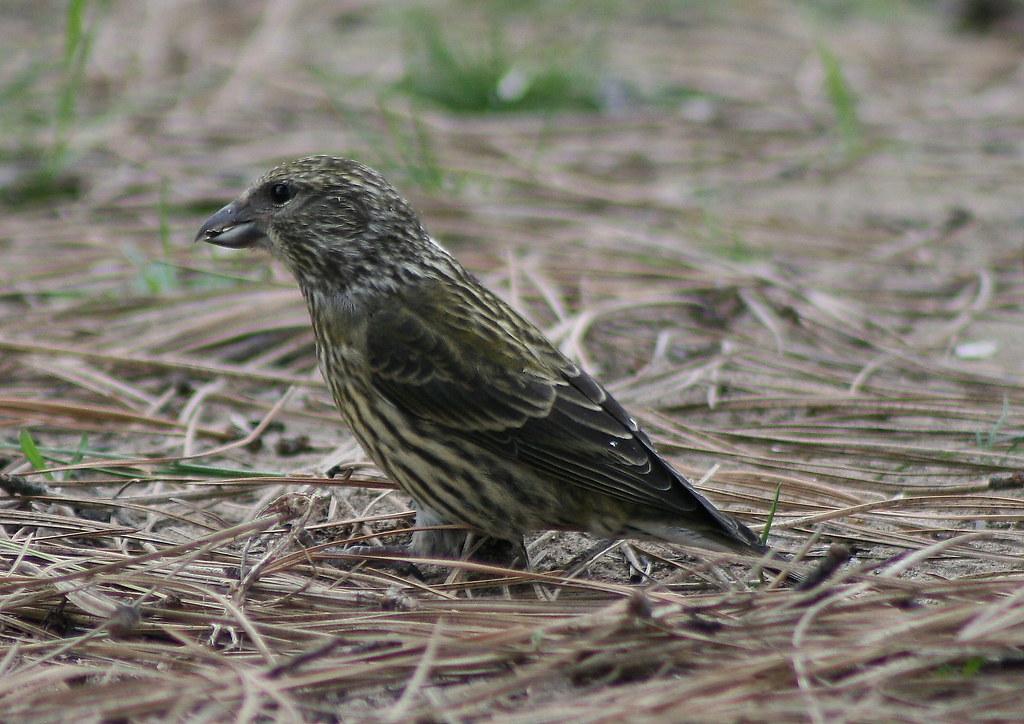 Juvenile Crossbill
