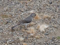 bird gathering fur