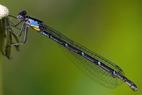 Aurora Damsel, Blue-form female