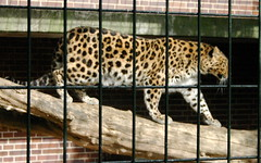 Jaguar behind bars