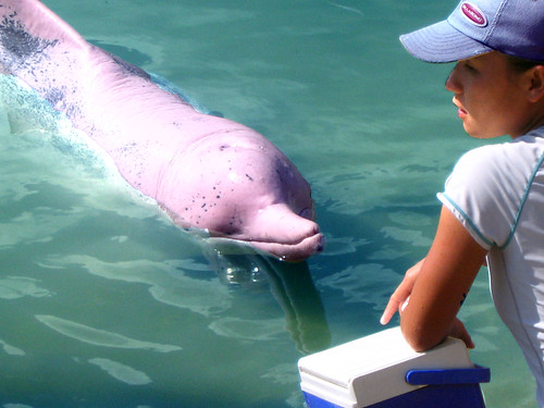 Pink dolphins are a rare breed of freshwater dolphins that make their home