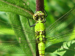 Eastern pondhawk. Flickr photo by Vicki DeLoach. Click for original
