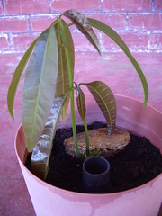 Mango Seedling (two stems)