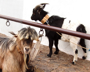 Goat with a mullet