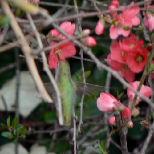 pink flowers with hummingbird